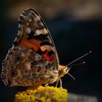 Бабочка :: Андрей Власов