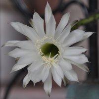 мои кактусы :: Марат Номад