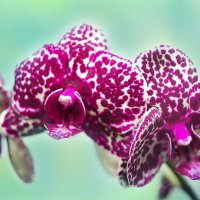 Орхидея :: Alex Rogova
