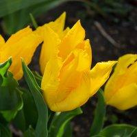 Тюльпаны ... :: Ирина Рассветная