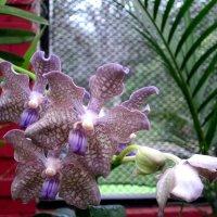 орхидея 1 :: Елена Байдакова