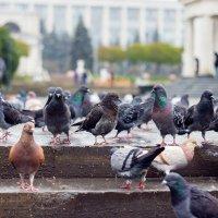 голубь :: Игорь Ермураки