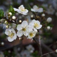 Цветение деревьев. Алыча. :: Александр Крупский