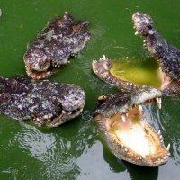 Крокодиловая ферма. Паттайские рептилии. :: МАК©ИМ Пылаев-Пшеничников