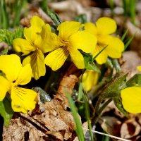 Солнечные цветочки весны. :: Наталья Юрова