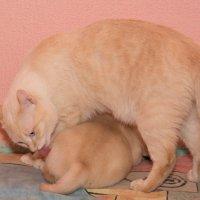 Чесалка - кот Васька :: Павел Савин