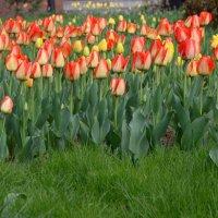 Тюльпаны в городе.... :: Александр Грищенко
