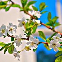 Ветка вишни в цвету! :: Михаил Столяров