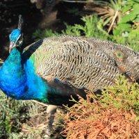Царкая птица :: Руслан Грицунь