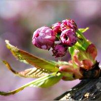 Весны цветение :: Юрий Гординский