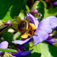 Пчелка, сборщица пыльцы :: Александр Бурилов
