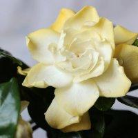Гардения - удивительный цветок с запахом жасмина :: Галина К.