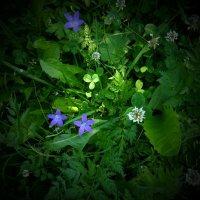 Цветочки луговые :: Валерий Талашов