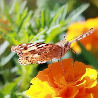 бабочка :: виктор омельчук