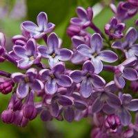Сиреневая Весна :: Геннадий Валеев