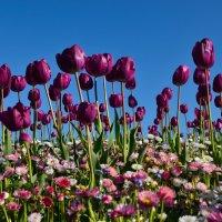 Тюльпаны :: Сергей Столбов