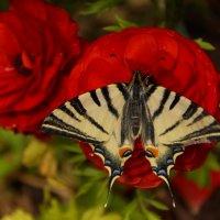 бабочка на цветке в саду :: Елена Мартынова