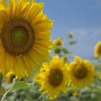 Солнечное поле :: Олег Дорошенко