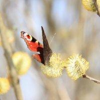 Бабочка :: Аня Смоликова