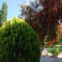 Кто подскажет, как называется это красивое красное дерево? :: Нелли *