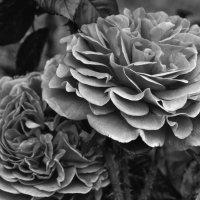 Роза :: Georg Förderer
