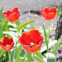 Тюльпаны :: Вероника Подрезова