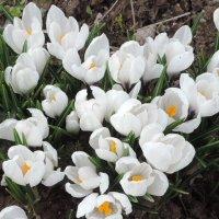 первые цветы :: Елена Море Добриян