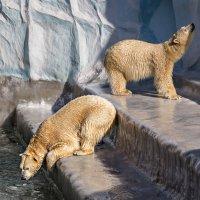 Медведи :: Nn semonov_nn
