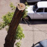 Из жизни городских деревьев... :: Лилия *
