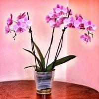 Фаленопсис (орхидея) :: Ольга Ламзина