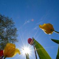 Tulps and sun :: Elyorjon Nematov