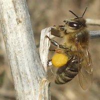 Пчёлы проснулись.... :: Евгений Софронов