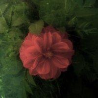Красный цветок :: Виктория