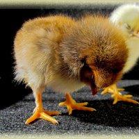 из жизни цыплят: толи сонная курица .... :: Анатолий Островский