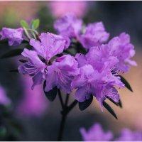 Весеннее цветение. :: Nonna