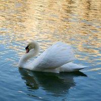 Лебедь на пруду :: Роман Раевский