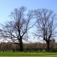 300-летние дубы в Коломенском :: o'k Ovk