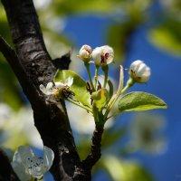 Цветущая груша :: Татьяна Кретова