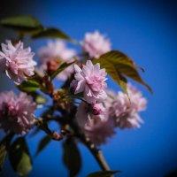 Цветет сакура. :: Nonna