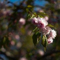 Сакура в цвету :: Lev Serdiukov