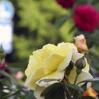 Роза Fairest Cape,чайно-гибридная :: Сергей Мягченков