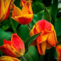Огненные тюльпаны :: Helavia *