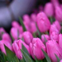 Тюльпаны :: Angelika Faustova