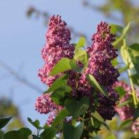 сиреневый цветок :: Andrei Graur