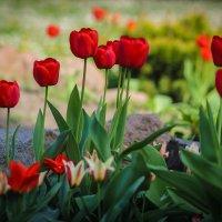 Красные тюльпаны. :: Nonna