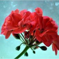 Цветок герани :: Валерий Викторович РОГАНОВ-АРЫССКИЙ
