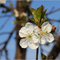 Цветки вишни :: Леонид Дудко