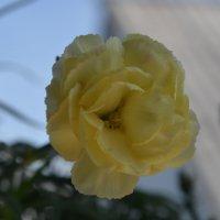 Летнее счастье в цветочном горшке :: Юля