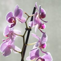 розовые орхидеи на окне :: Aleksandr Zabolotnyi
