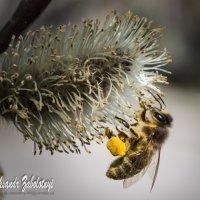 пчелка собирает нектар :: Aleksandr Zabolotnyi